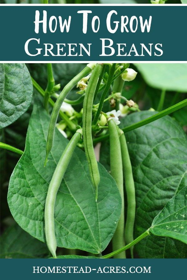 How To Grow Green Bush Beans For A Successful Harvest Growing