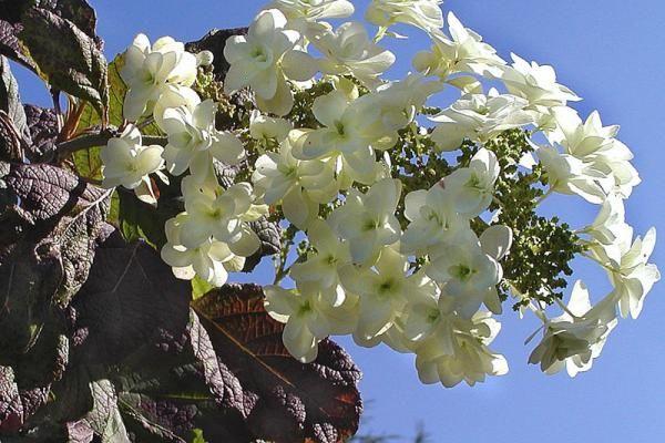 Hydrangea quercifolia - Eikenblad Hortensia    De Hydrangea quercifolia (Nederlandse naam: Eikenblad Hortensia) is een schitterende haagplant die ook erg aantrekkelijk is voor aanplant in groet groepen. De Eikenblad Hortensia heeft schitterend groot, groen blad dat in de herfst verkleurt naar prachtige rood- en paarstinten.