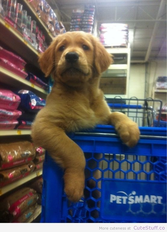 Shopping Golden Retriever | CuteStuff.co - Cute Animals, Cute Pictures, Cute Videos and MORE!