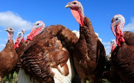 17 best images about interesting stuff on for Why do we eat turkey on thanksgiving