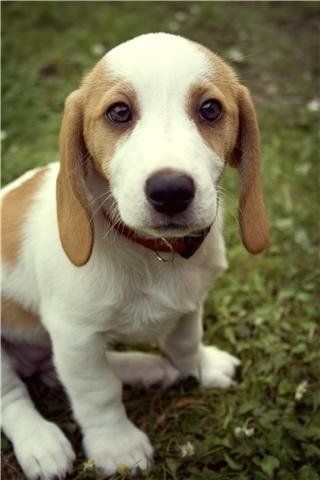 A cutie :) beagle basset hound mix AKA a bagel...this was probably what my Bailey looked like as a puppy1