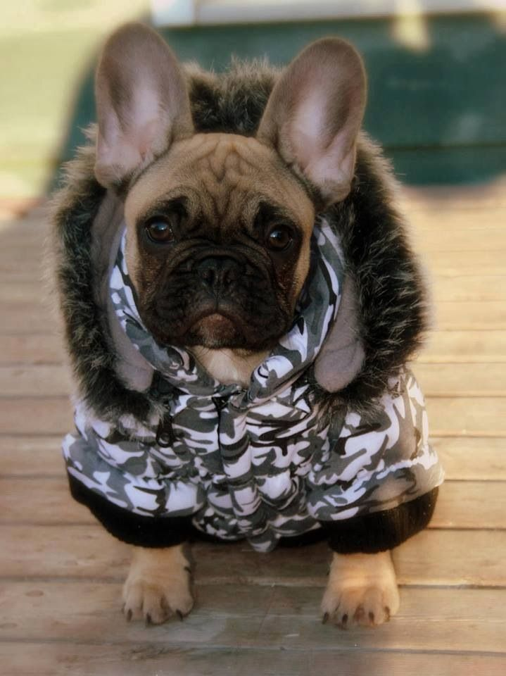 french bulldog jacket 37 best dog clothes images on pinterest for dogs 7769