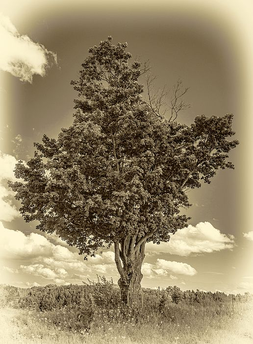 A Canadian Tree - Sepia.  This unusually shaped maple seems to have been designed. I wonder if someone is trying to create a Canadian Maple Leaf symbol using maple leaves.
