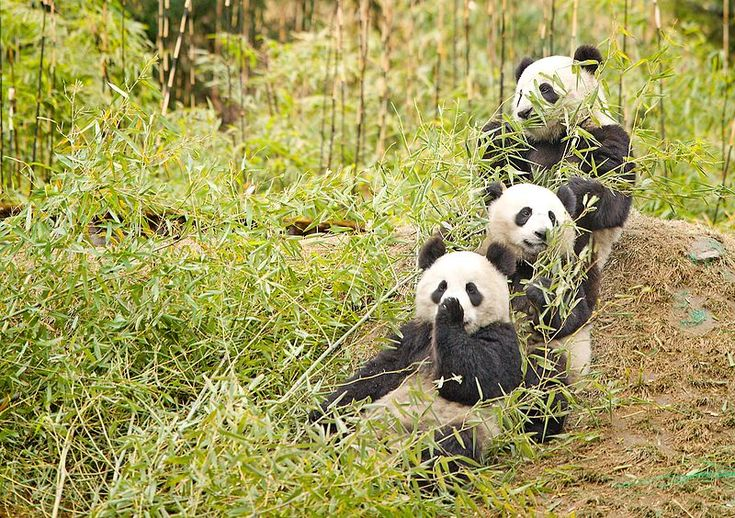 Researchers from Michigan State University (MSU) have recently discovered that livestock, horses in particular, are a significant threat to pandas. http://www.conservation-jobs.co.uk/60453/panda-habitat-saved-horse-threat/