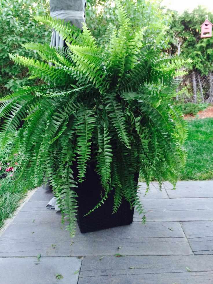 Planter From Costco With Fern For My Patio.