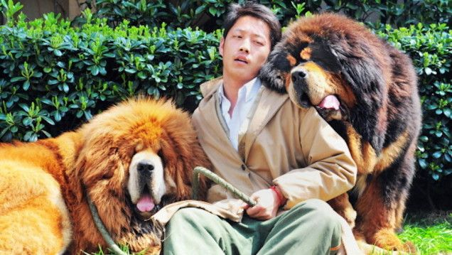Tibetan Mastiff puppy for $2 million this weekend, the most money anyone has ever spent on a dog.  Tibetan Mastiffs—known for being ferocious, loyal, and protective—are apparently a thing among Chinese millionaires. But sale prices generally tend to max out in the low six figures.