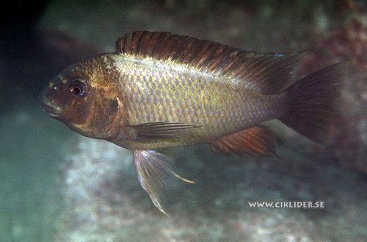 Petrochromis ephippium