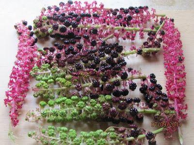 .......Rosendame macht was: Phytolacca acinosa die indische Kermesbeere