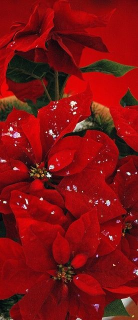 Poinsettias  { Flor de Nochebuena } Prehispánic Mexican Heritage to the entire World