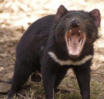 Tasmanian Devil, Hobart, Tasmania