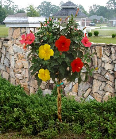Tri-Color Braided Tropical Hibiscus Tree by Cottage Farms Direct on #zulily