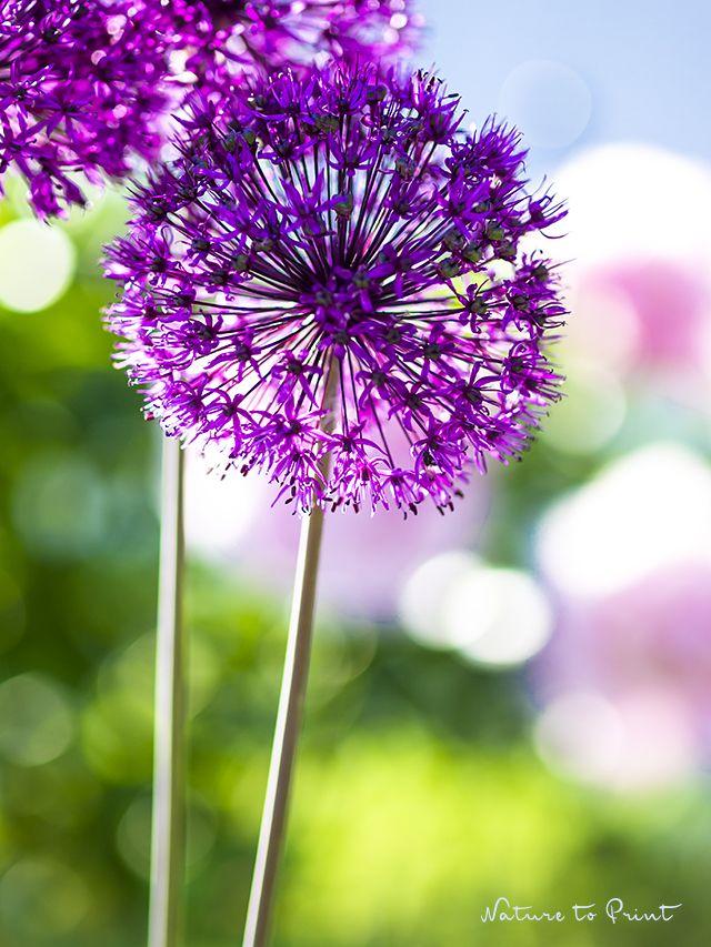 36 besten Violett   Lila Bilder auf Pinterest Blumen, Garten und - allium beetstecker aus metall