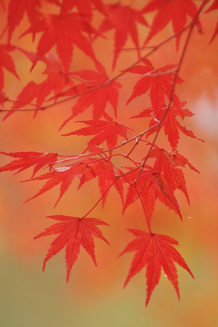 紅葉 (momiji) by * Yumi *, via Flickr