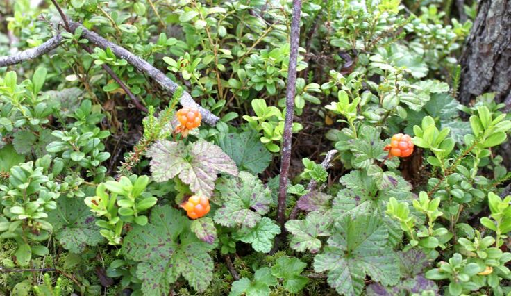 Cloudberry, Finnish superfood. Choose destination forest.