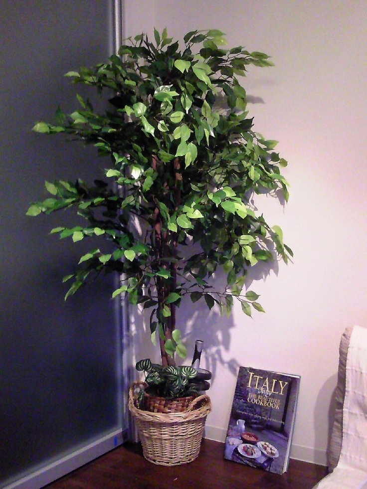 ficus houseplants how to care for a ficus tree - Ficus Trees