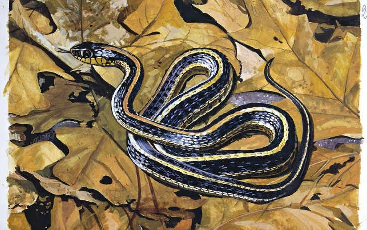 Common garter snake (Thamnophis sirtalis) on leaves, illustration