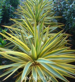 Bright Star Yucca (Yucca gloriosa var. recurvifolia 'Walbristar' (BRIGHT STAR) P.P. #17,653)recurvifolia 'Walbristar' (BRIGHT STAR) P.P. #17,653)