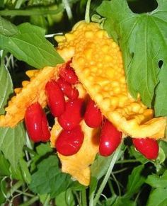 İşte size mucize bir bitki daha. Hürriyet'in haberine göre asırlardır başta mide hastalıklarının tedavisinde kullanılan Kudret narının birbirinden önemli birçok faydası var. Parçalı yapraklı, tırmanıcı, otsu, bir yıllık bir bitki olan Kudret narının meyvesi olgunlaşınca, birbirinden ayrılır. Sarı çiçekler açar, turuncu-sarı renkli meyveler verir. Anavatanı Hindistan'dır. Kudret narı ile ilgili son araştırmalardan biri New York