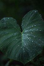 Großes Blatt mit Regentropfen, Sao Tome, Sao Tome und Príncipe, Afrika