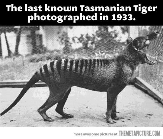 Tasmanian tiger or thylacine, believed extinct, yet sighted and photographed in southern Tasmania. Hope it is back!
