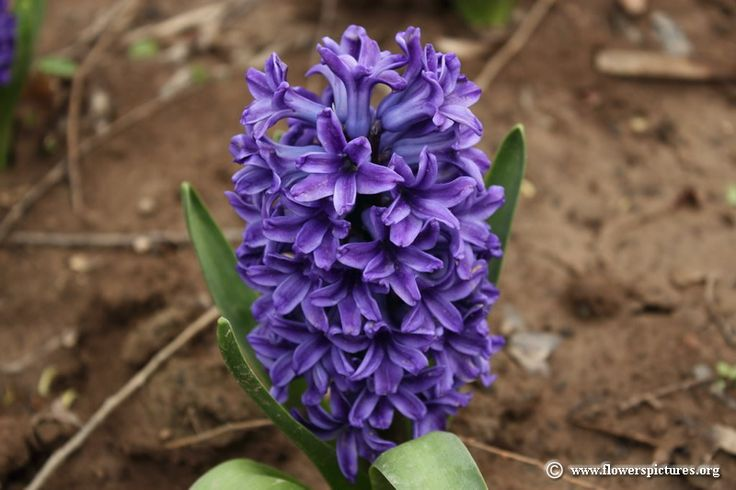 Types of Purple Flowers | Purple hyacinth flower picture (12)