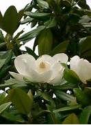 File:Magnolia grandiflora8.jpg - Wikimedia Commons