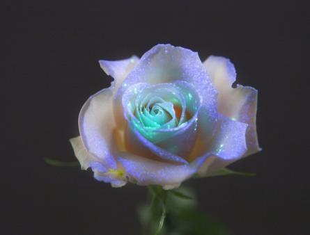 Genetically modified flowers glow in the darkFlower Glow, Create Secret, Dark Rose, Beautiful, Genetics Modified, Modified Flower, Flower Photos, Glow In The Dark Flower, Galassia Flower