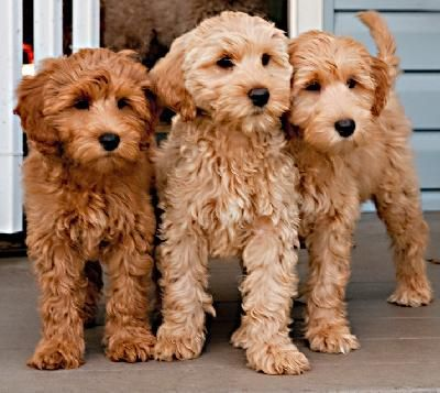 Cool Labradoodle Chubby Adorable Dog - cfa49caabbd6423a7b7a40c8a04722d2--australian-labradoodle-puppies-mini-goldendoodle  HD_914076  .jpg