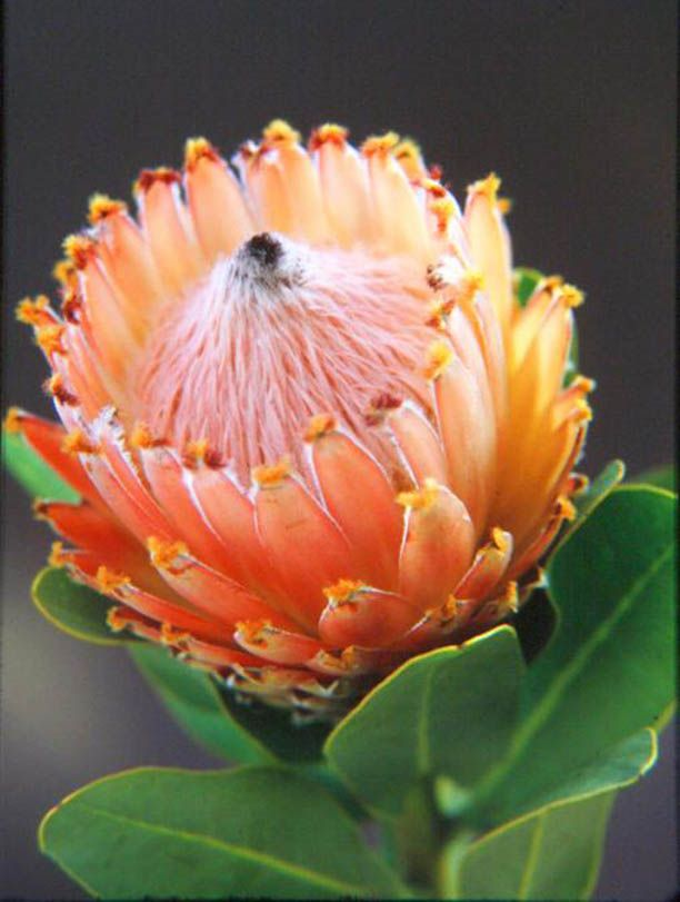 Protea | The King Protea ( Protea cynaroides ) is the national flower of South ...