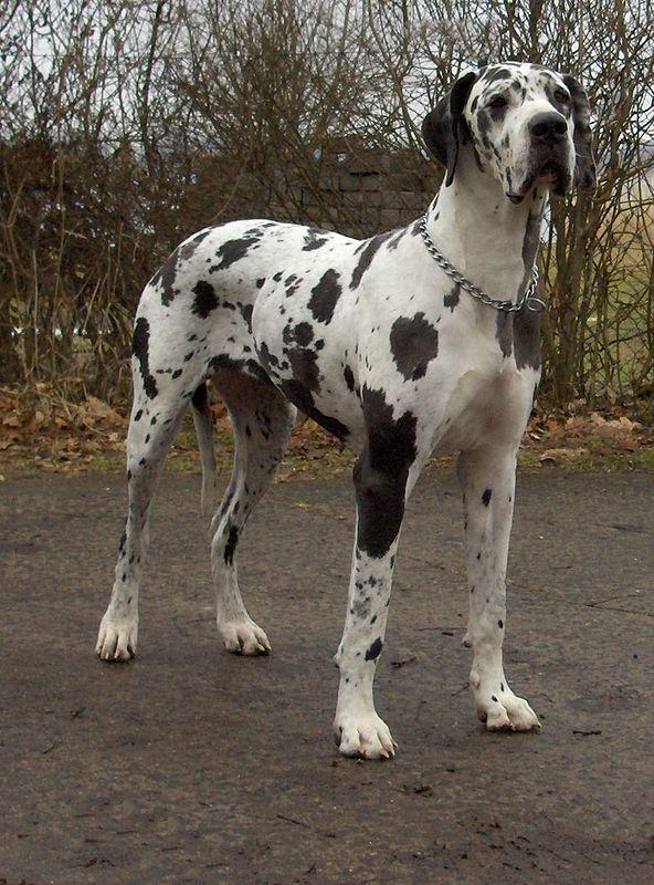 """Schwarz-weiß gefleckte Dogge oder """"Tigerdogge"""""""