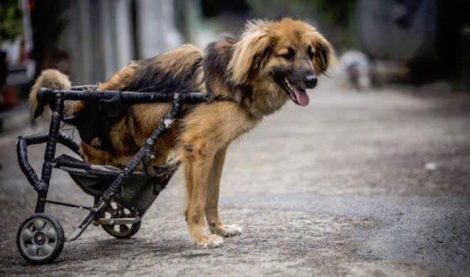 Ce refuge s'assure que tous les chiens errants ayant besoin d'un fauteuil roulant en obtiennent un.