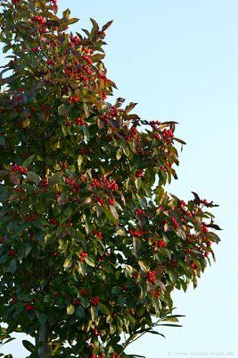 Apfeldorn kugelförmiger Baum für den Garten