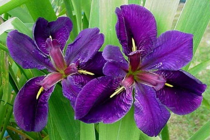 Iris Louisiana Black Gamecock -