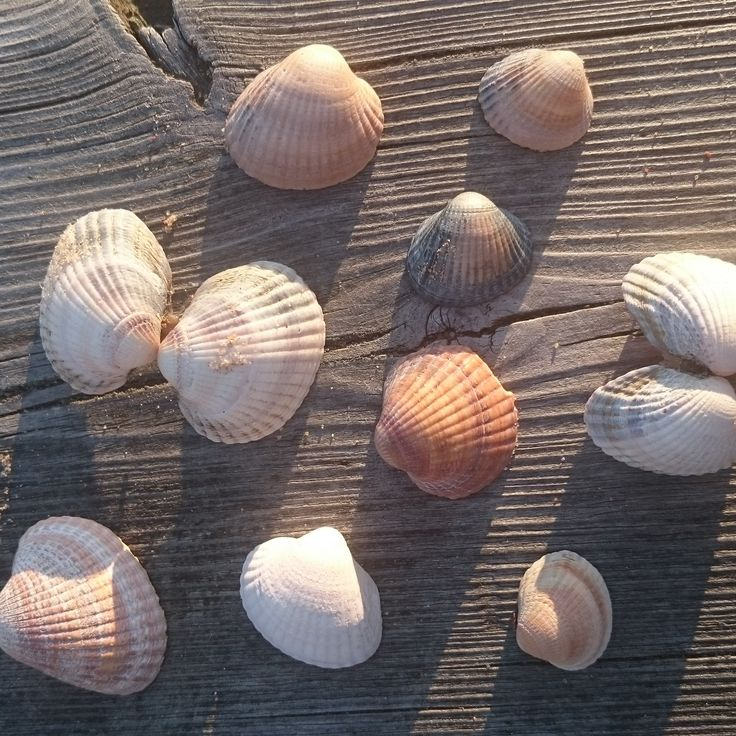 Shells found on the beach in Mellbystrand Sweden