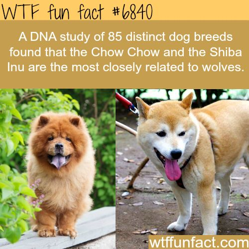 The dogs that are closely related to wolves - WTF fun fact