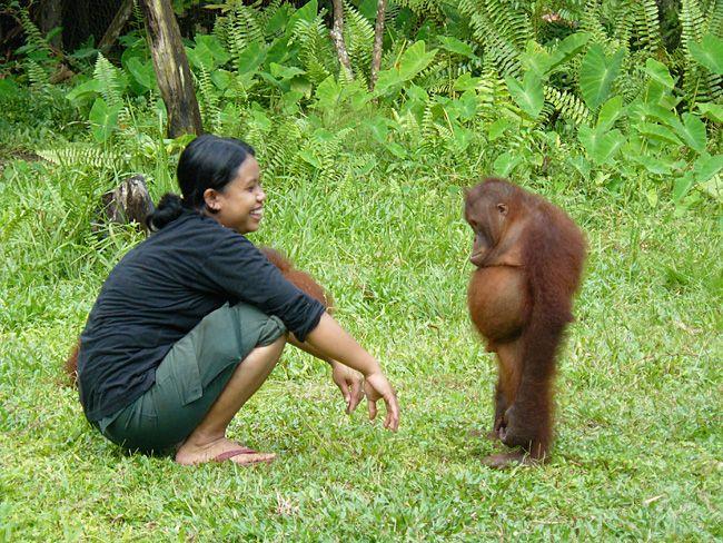 """Résultat de recherche d'images pour """"orang outan"""""""