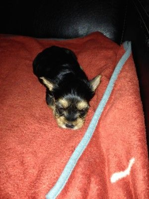 yorkshire-terrier - Small Dogs Club