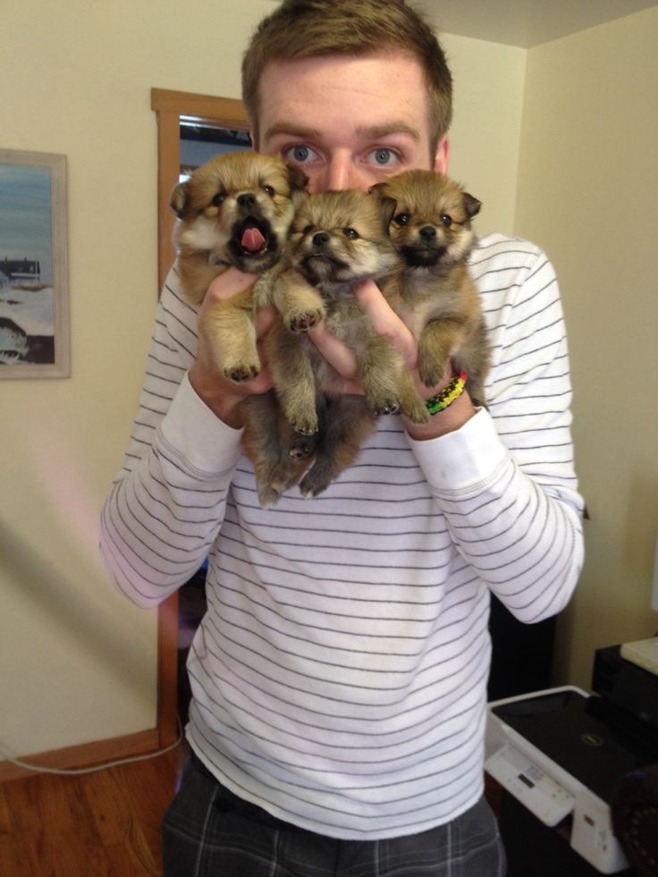 Pomeranian German Shepherd Mix The Puppies Are Supers
