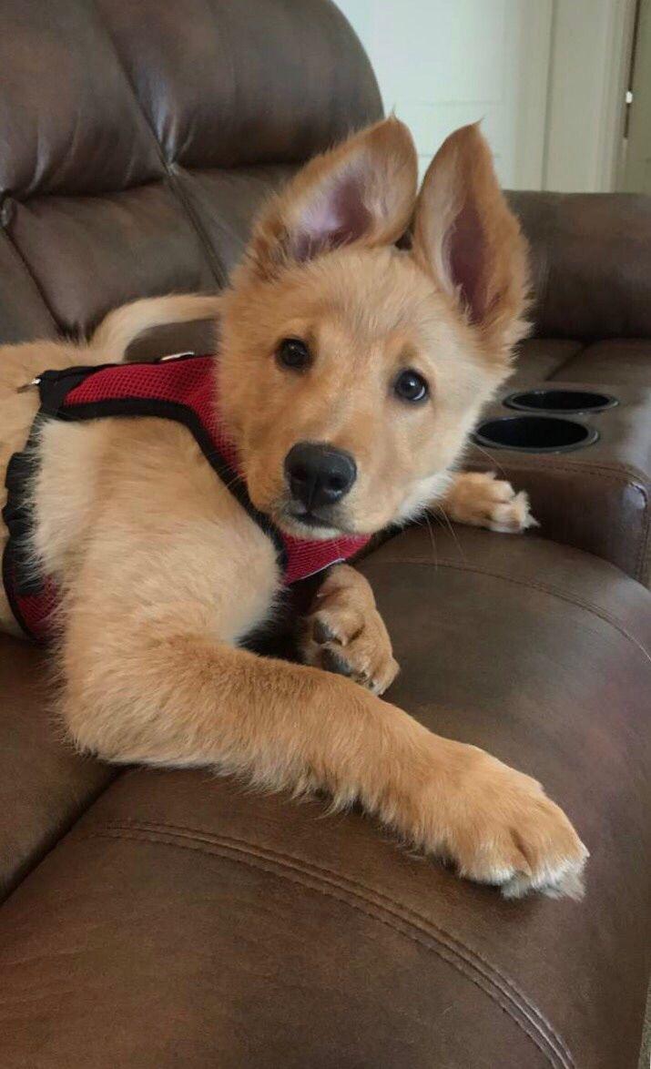 Golden Husky Puppy http://ift.tt/2pnH6ni