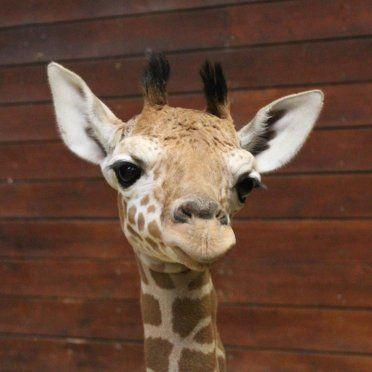 04.02.2014 - Giraffenbaby empfängt Besuch - Wilhelma