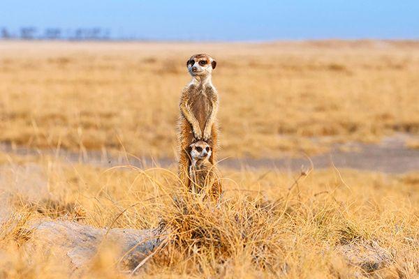 Picture of meerkats in Makgadikgadi Pans, Botswana