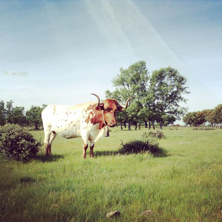 Dehesa de Valdelazarza. Vaca berrenda en colorado  #cabestros #campocharro #salamanca #spain #animals #animales #fauna #flora #toros #horns #cuernos #cows #cowboy #cencerro #cowbell