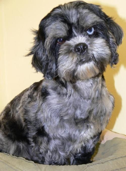 Dog Finder Adopt a Dog or Cat Near You Dogs, Shih tzu