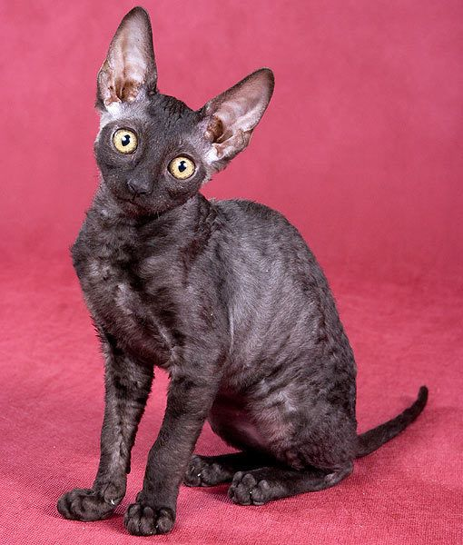 """Cornish Rex:  Most cats have three types of fur that make up their coats. The outer layer is called the guard hair; the middle layer is called the awn hair; and the undercoat is called the down hair. Cornish rexes aren't hairless, but they possess only the wonderfully soft """"undercoat"""" of down hair. As a result, they shed less than other breeds, so some people with cat allergies suffer far less, or even not at all, from Cornish Rexes"""