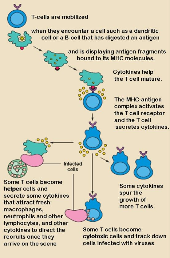 T Cell Activation, Immunology