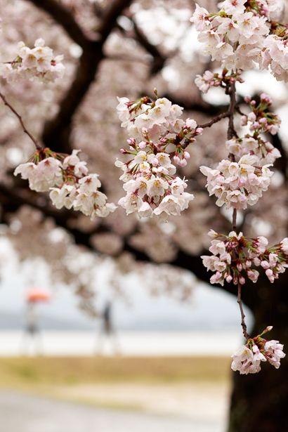 小雨の中、開花を待ちわびた人たちが 佐鳴湖で笑顔を見せていましたね。  雪国のように 一斉に咲か...