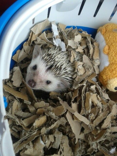 Luna enjoying having days out in her carrier  African Pygmy Hedgehog