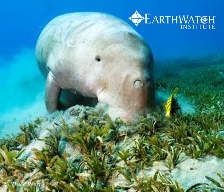 Have you always wanted to see a dugong? Many dugongs call Moreton Bay home. But, they could be in trouble with Brisbane's growth. Join scientists and citizen scientists on an Earthwatch Expedition to help understand how Brisbane's urbanisation is affecting Moreton Bay and its inhabitants. You will snorkel alongside Dugongs and Dolphins and collect sediment, sea grass, and macro invertebrates to study the health of the bay. As a plus you also get to cruise around the warm waters on a sail…