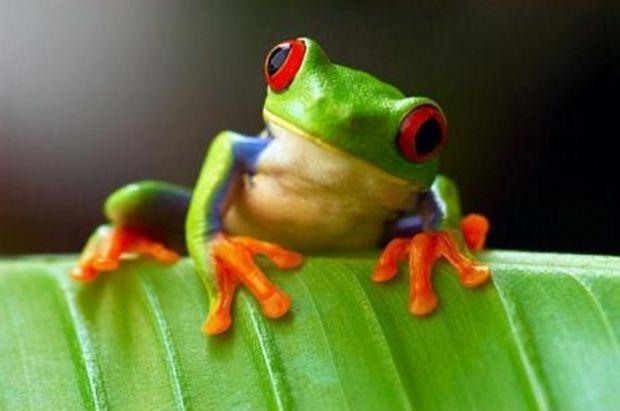 Photo extraite de Grenouilles : les espèces les plus surprenantes en images (10 photos)