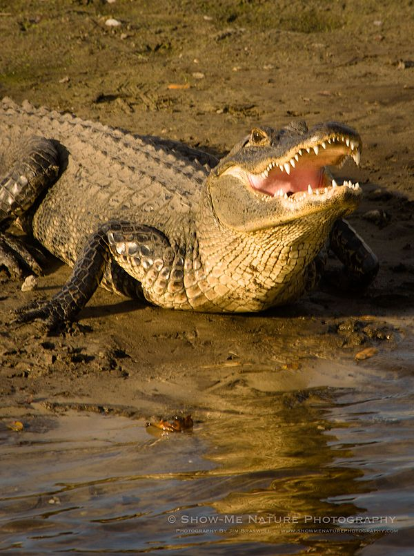 an overview of the alligator animal species of reptiles Alligators are carnivorous opportunists, eating fish, amphibians, reptiles, birds,  and mammals what they eat is largely determined by their size.